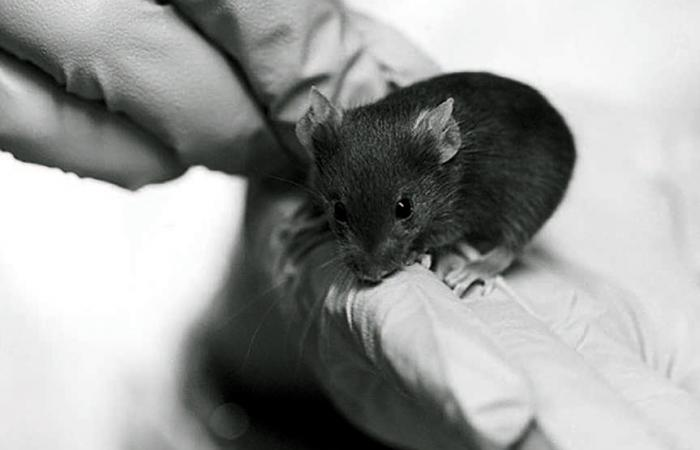 Black and white photo of a lab mouse being held in gloved hands.