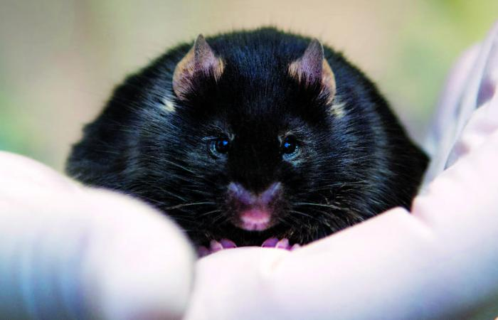 Close up of a black mouse held in a gloved hand.
